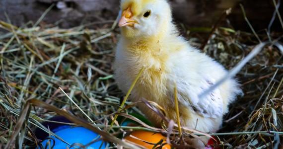 Hühner_Kücken-36